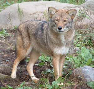 Our Wild Neighbor, The Real Eastern Coyote @ Fairlee Town Hall
